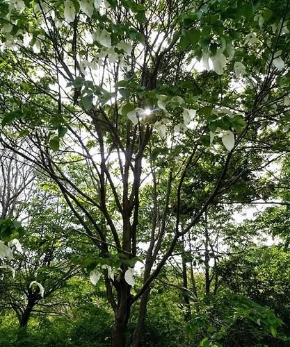 ハンカチの木.jpg