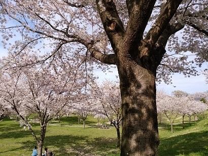 桜大樹.jpg