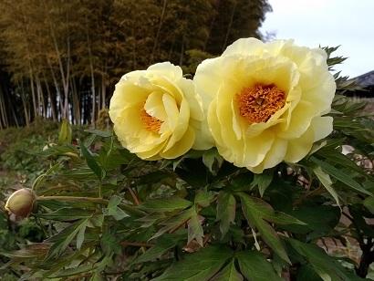 牡丹黄色.jpg