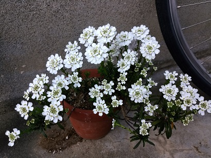 白い鉢花.jpg