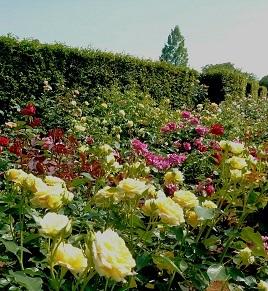 IMG_20170521_213512清水公園薔薇.jpg