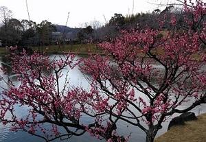 池の梅.jpg
