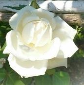 IMG_20170521_163806清水公園薔薇.jpg