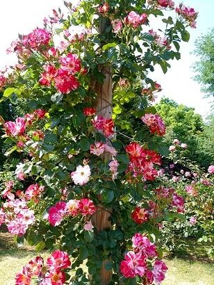 IMG_20170521_214220清水公園薔薇.jpg